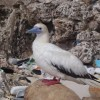 Plastic in 99 percent of seabirds by 2050 – Australia