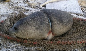 Seal Banded